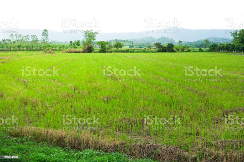 The green rice fields. stock photo
