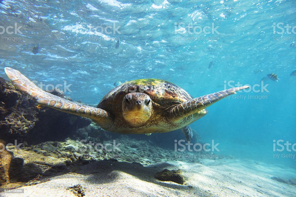 The green sea turtle on Hikkaduwa coral reef, Sri Lanka. Shot taken...