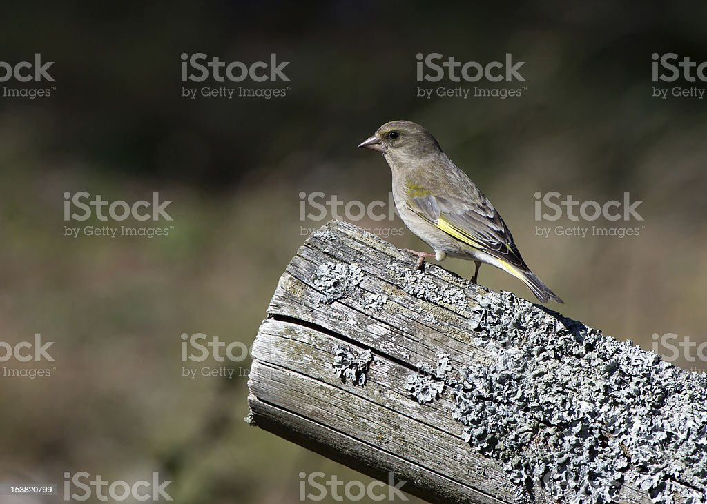The greenfinch royalty-free stock photo
