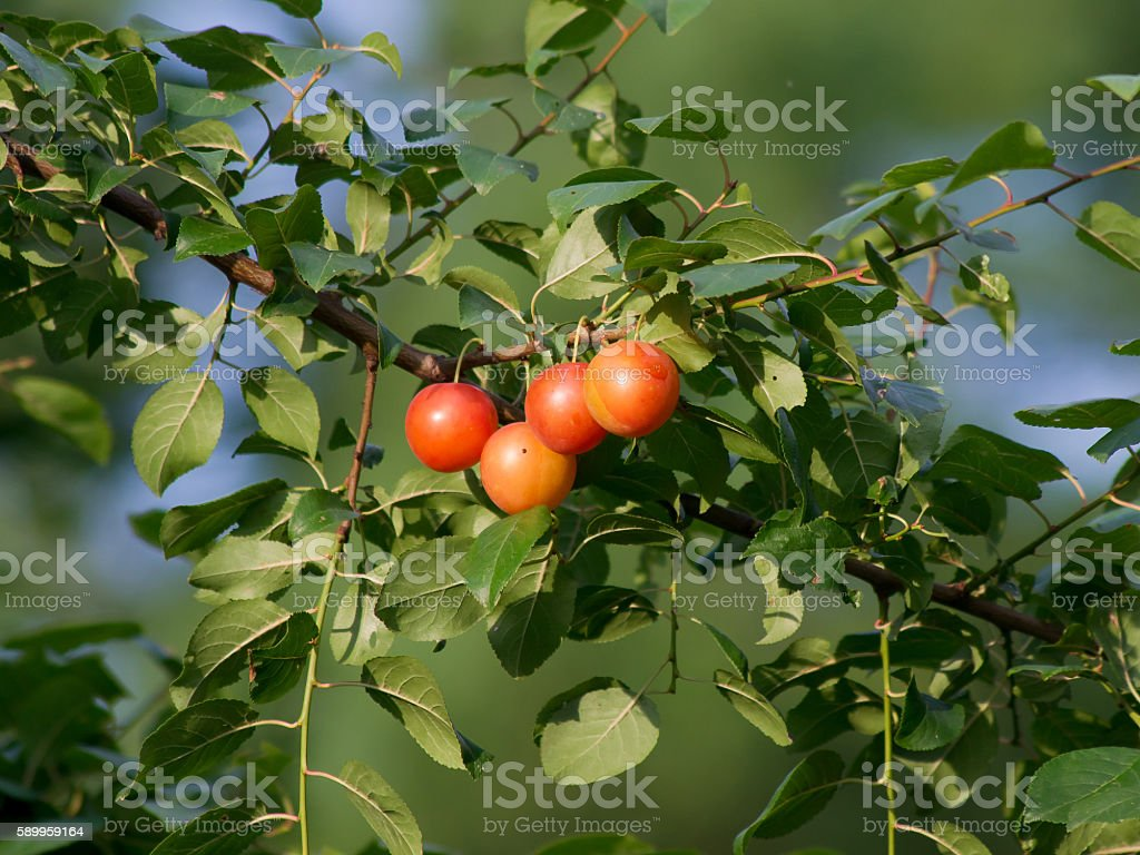 The Greengage plums. stock photo