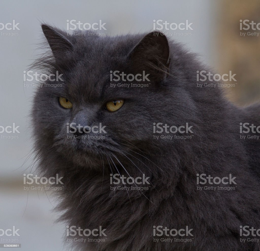 the grey cat stock photo