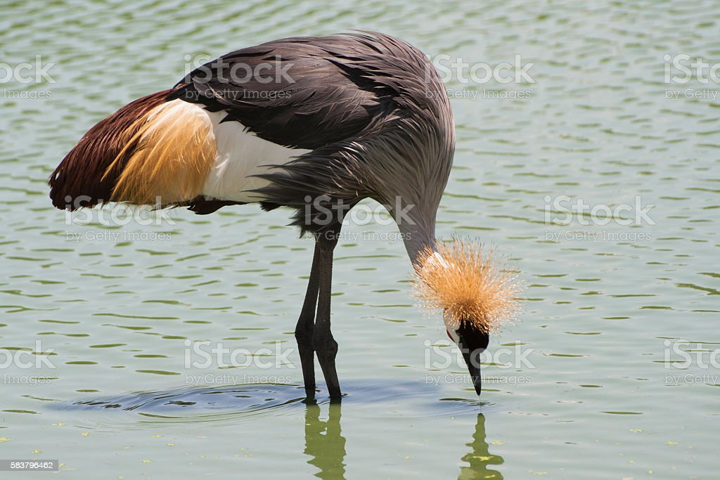 The Grey Crowned Crane bird. stock photo