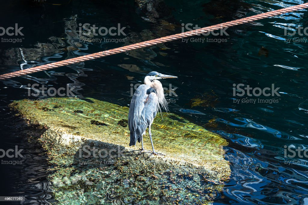 The Grey Heron, California stock photo