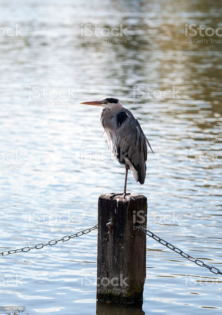 The grey heron in Hyde Park stock photo