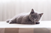 The grey shorthair kitten