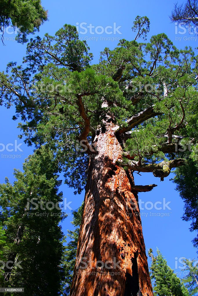 The Grizzly Giant, Mariposa Grove royalty-free stock photo