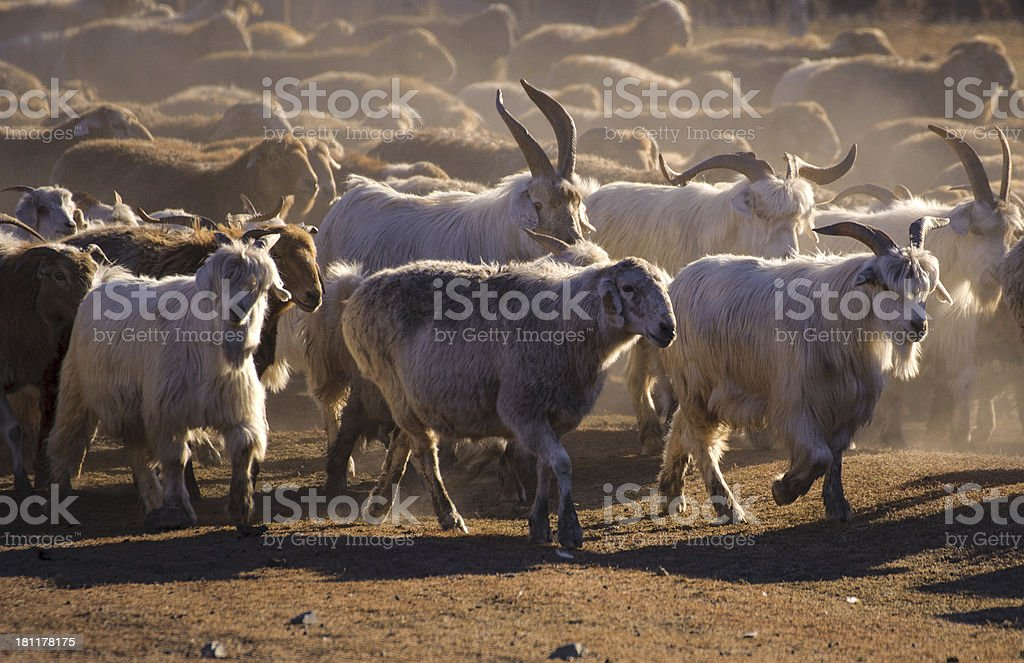 the group of goat royalty-free stock photo