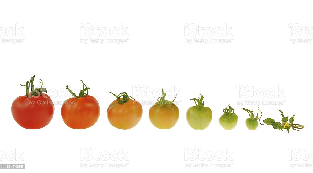 The growth of a red tomato on a white background royalty-free stock photo