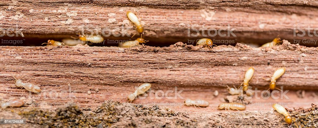 the  grunge wood board was eating by group of termites stock photo