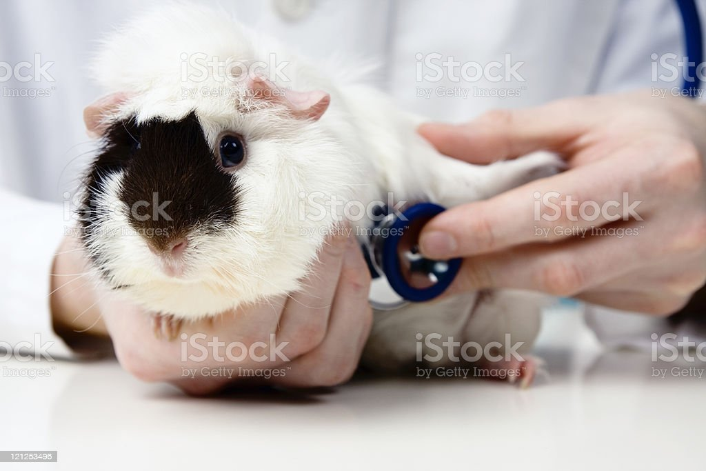 The hamster is having its heart checked stock photo