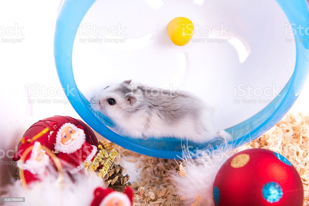The hamster is on the plastic runner. stock photo