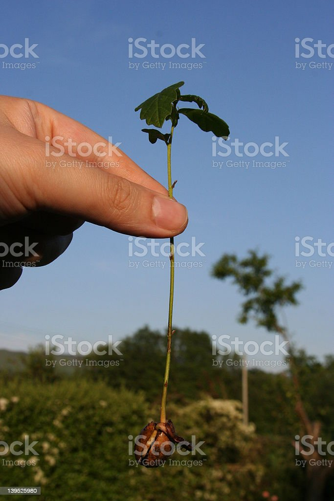 The Hand and Mighty Oak royalty-free stock photo