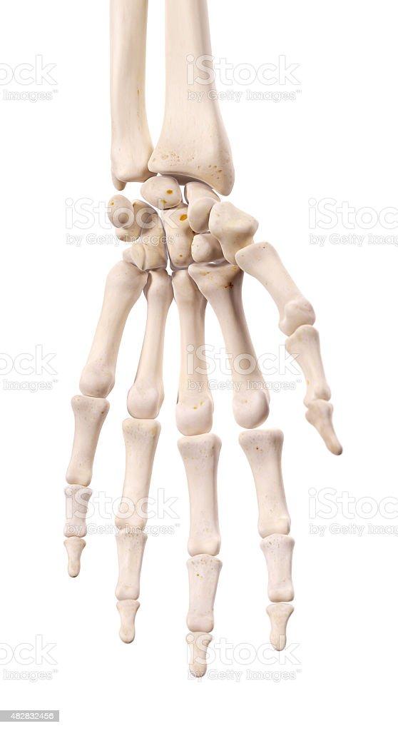 The hand bones stock photo
