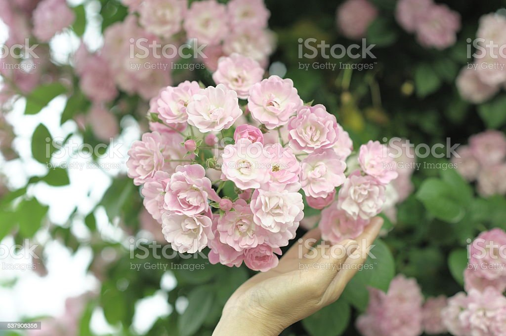 The hand holding the roses. stock photo