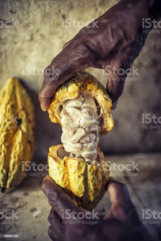 The hands of a dark skinned man hold up an open cocoa pod stock photo