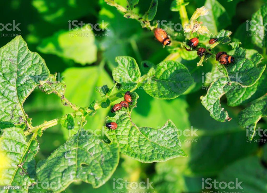 the harmful larvae of the Colorado potato beetle ate the potato leaves in the garden stock photo