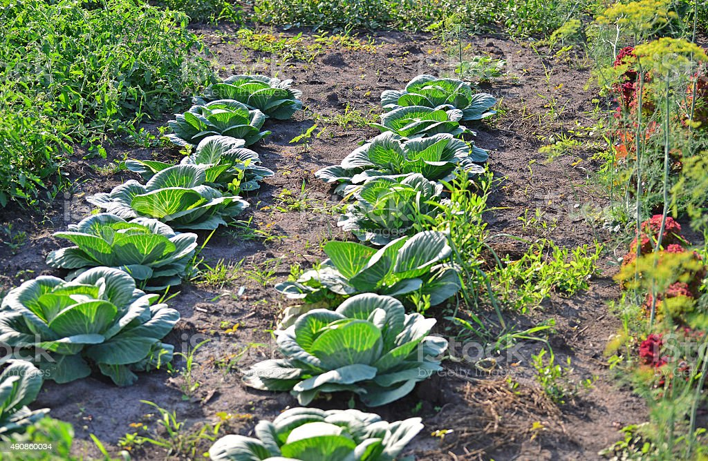 The harvest of cabbage in garden stock photo