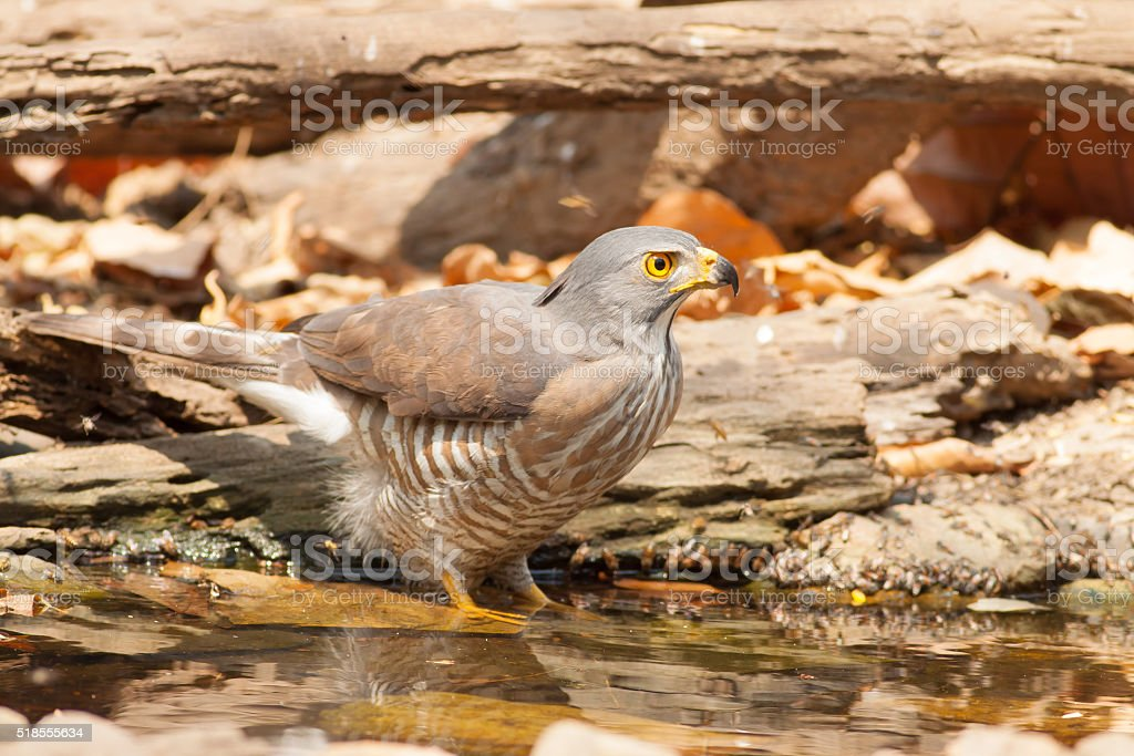 The hawk drink water royalty-free stock photo