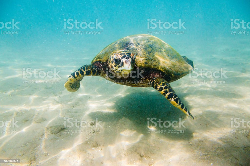 The hawksbill sea turtle (Eretmochelys imbricata) stock photo