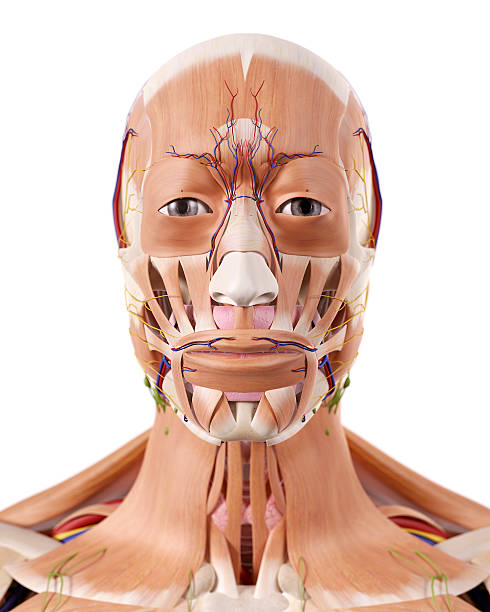 Facial Muscles Anatomy Silhouettes Pictures, Images and Stock Photos ...