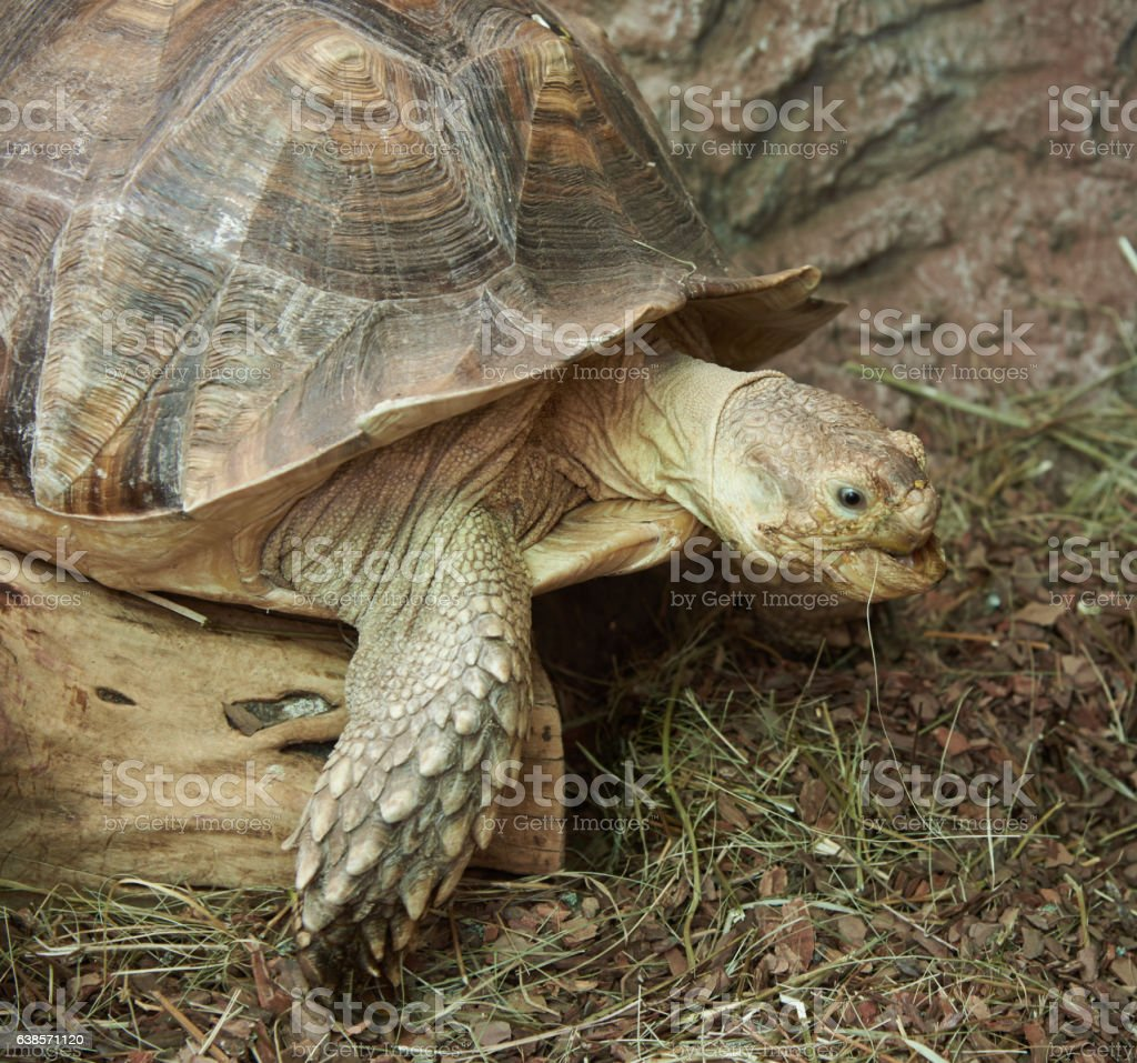 The head and part of the shell African Spurred Tortoise stock photo