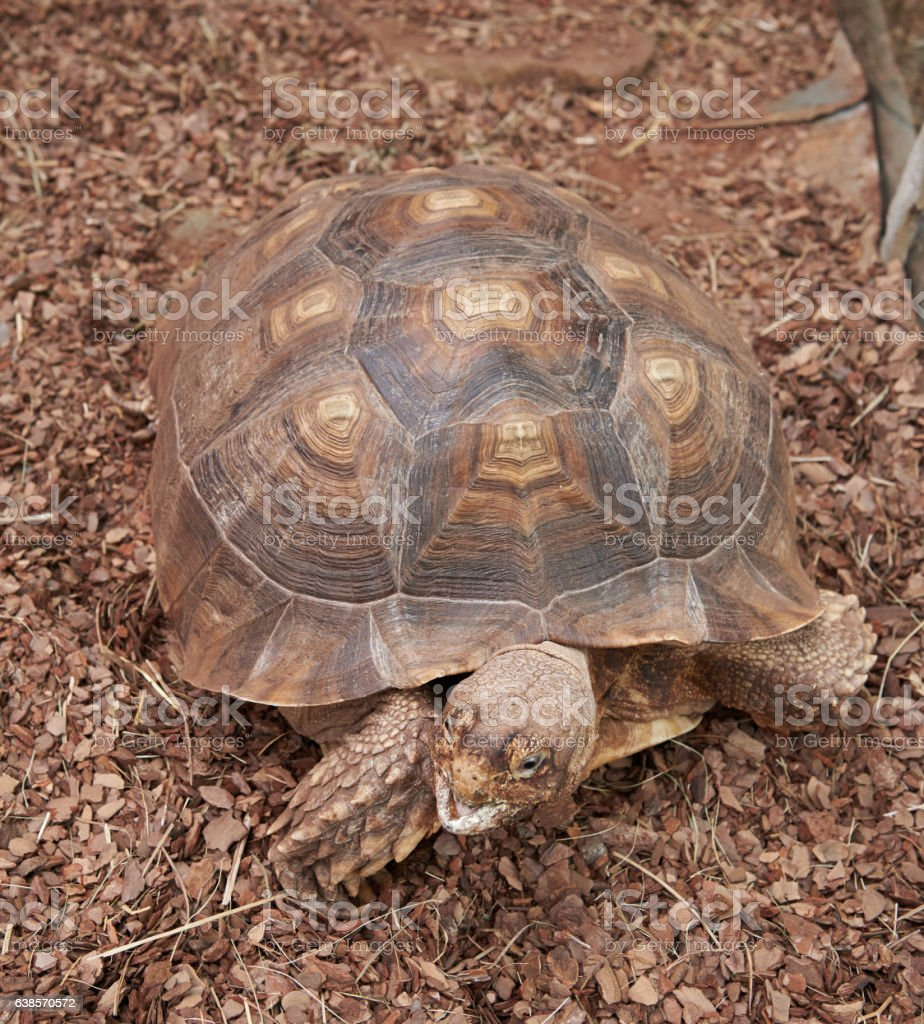The head and the shell African Spurred Tortoise stock photo
