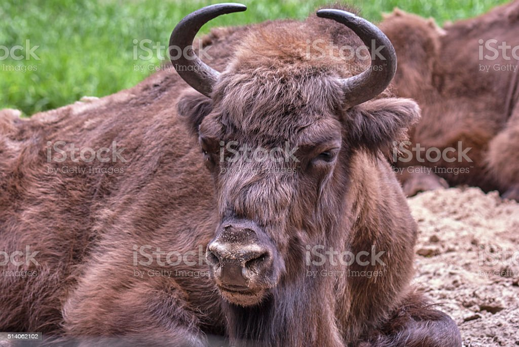 The head lying on meadow European bison stock photo
