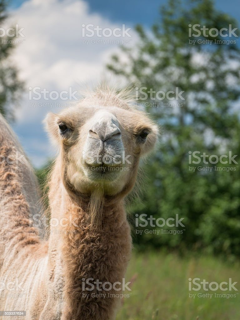 The head of a camel closeup stock photo