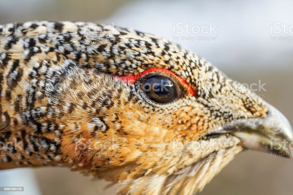 the head of a grouse close-up stock photo