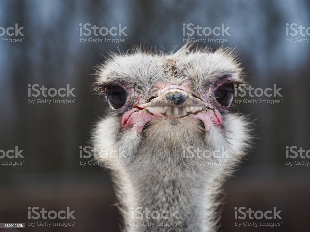 The head of an ostrich stock photo