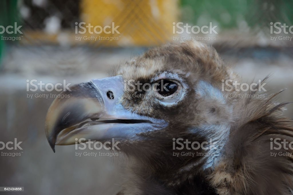The head of Cinereous vulture stock photo