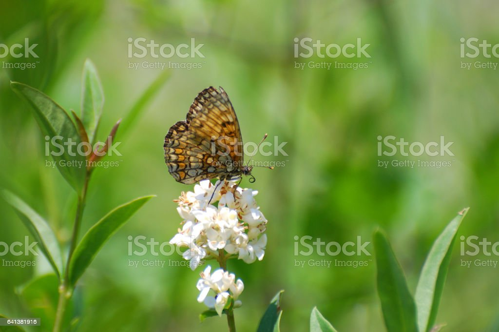 The heath fritillary Butterfly stock photo