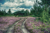The heather flowers landscape. Ukrainian nature