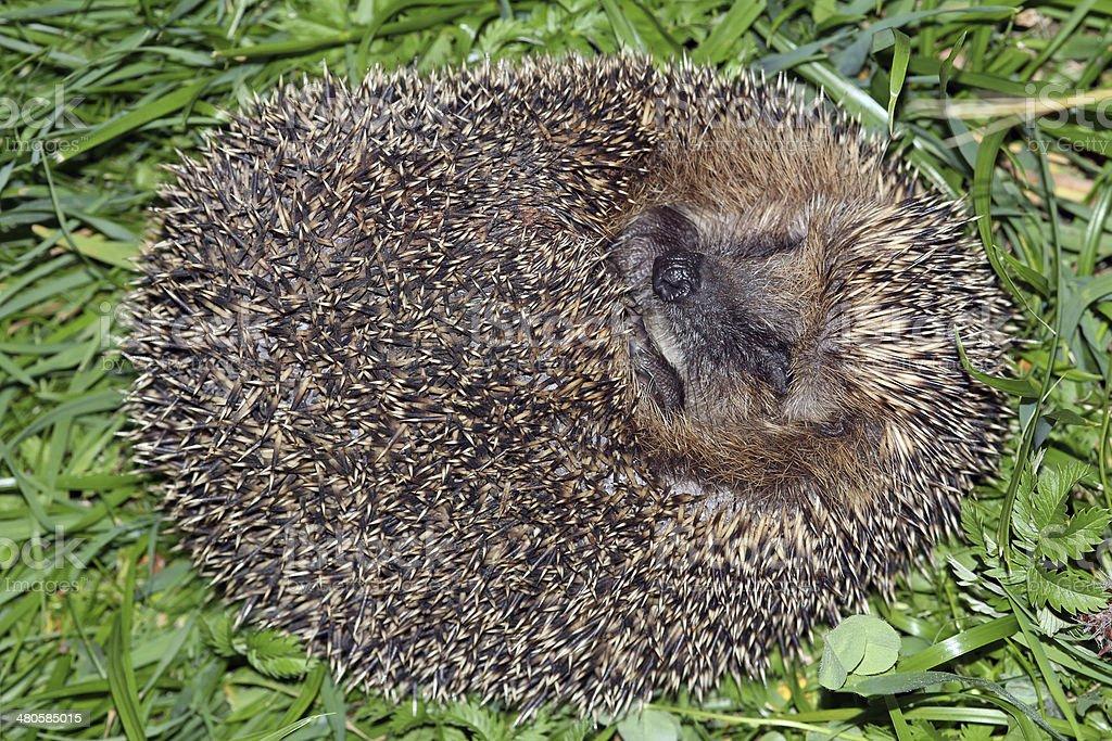 the hedgehog royalty-free stock photo