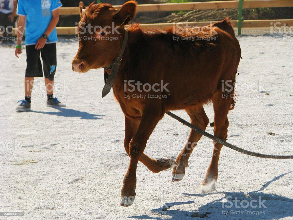 The heifer stock photo