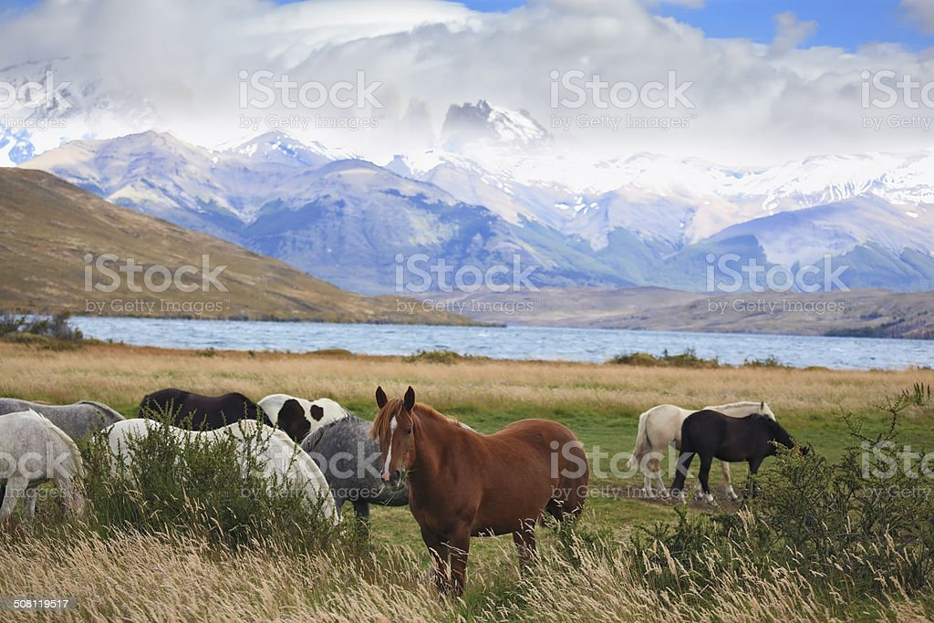 The herd of magnificent horses is grazed stock photo