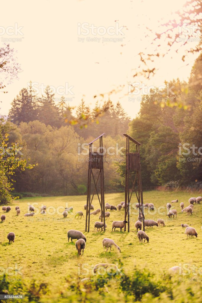 The herd of sheep grazing in the field stock photo