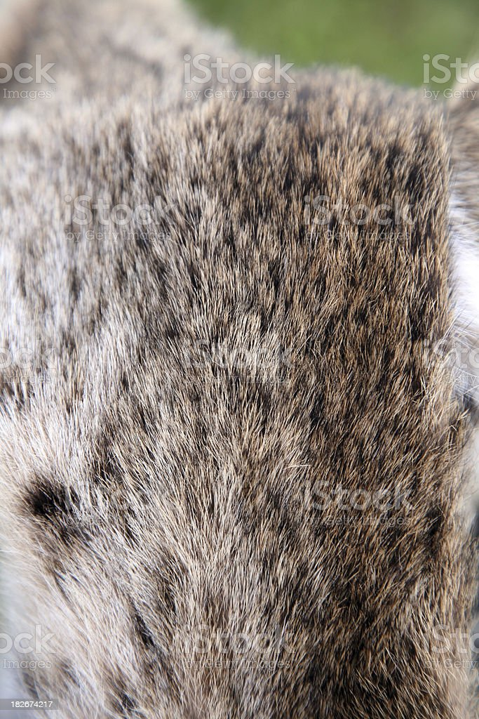 The Hide Of A Coyote Head royalty-free stock photo