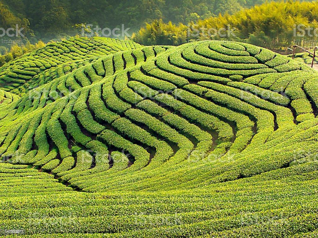 The hills of Ba Gua Tea garden in Taiwan royalty-free stock photo