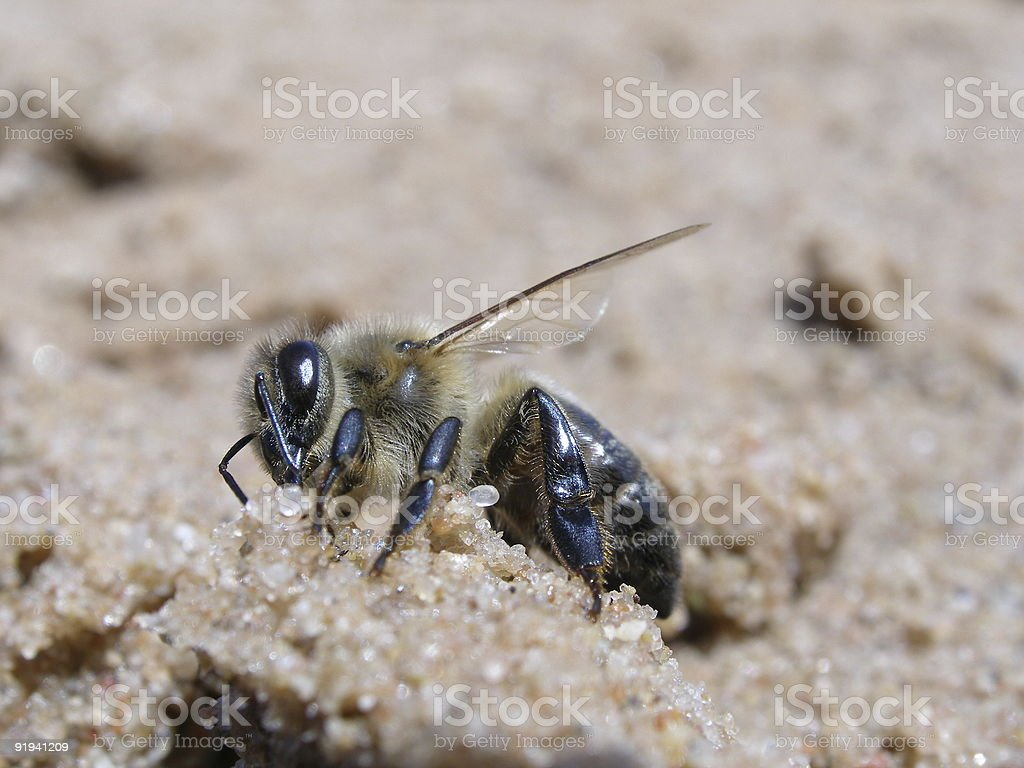 The honeybee royalty-free stock photo
