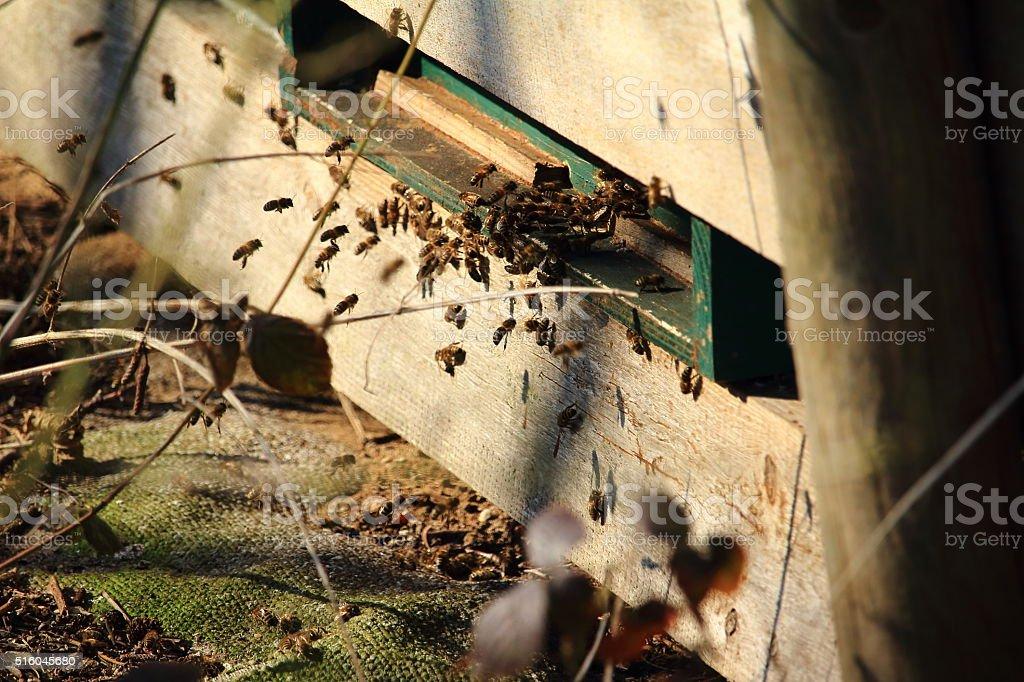 the honeybees (Apiformes) stock photo