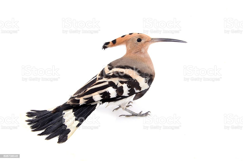 The hoopoe, close-up, white background stock photo