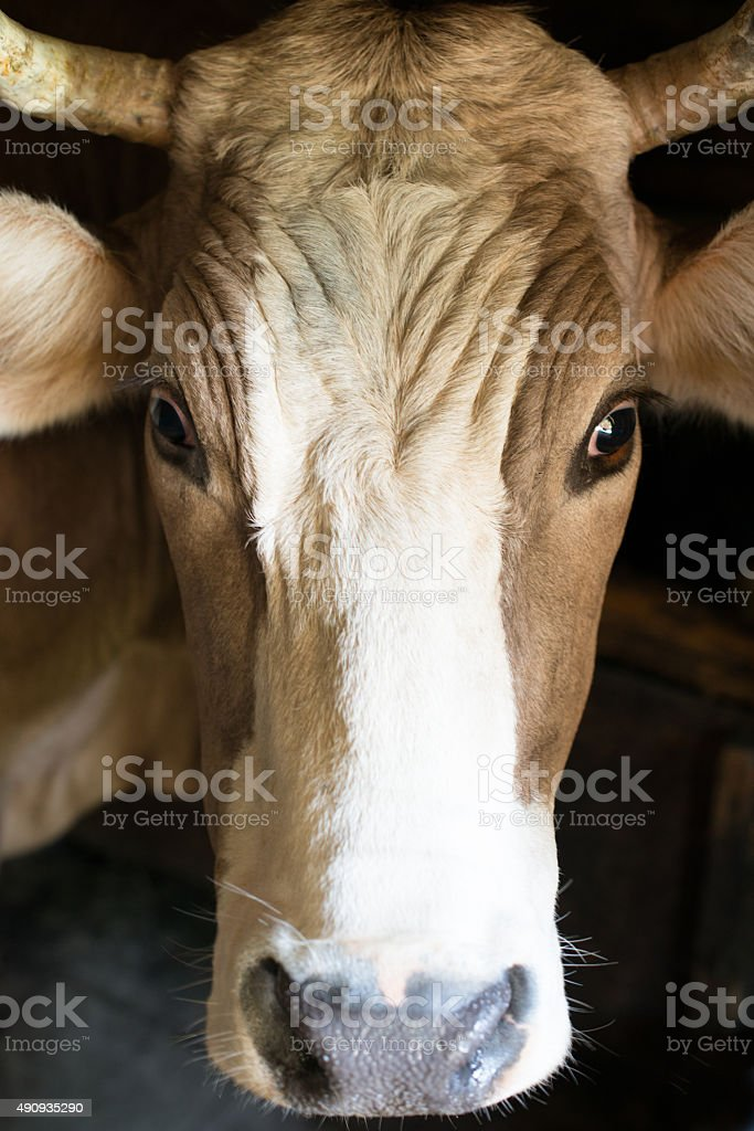 The horned cow stock photo