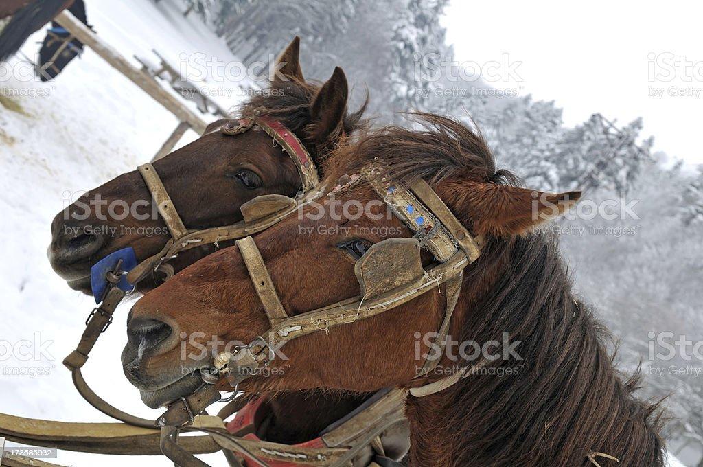 the horses in farm royalty-free stock photo