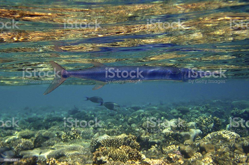 O Houndfish foto royalty-free