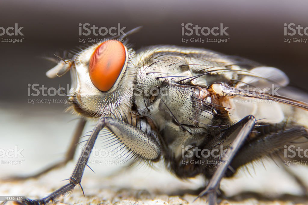 The House Fly dangerous carrier of pathogens. stock photo