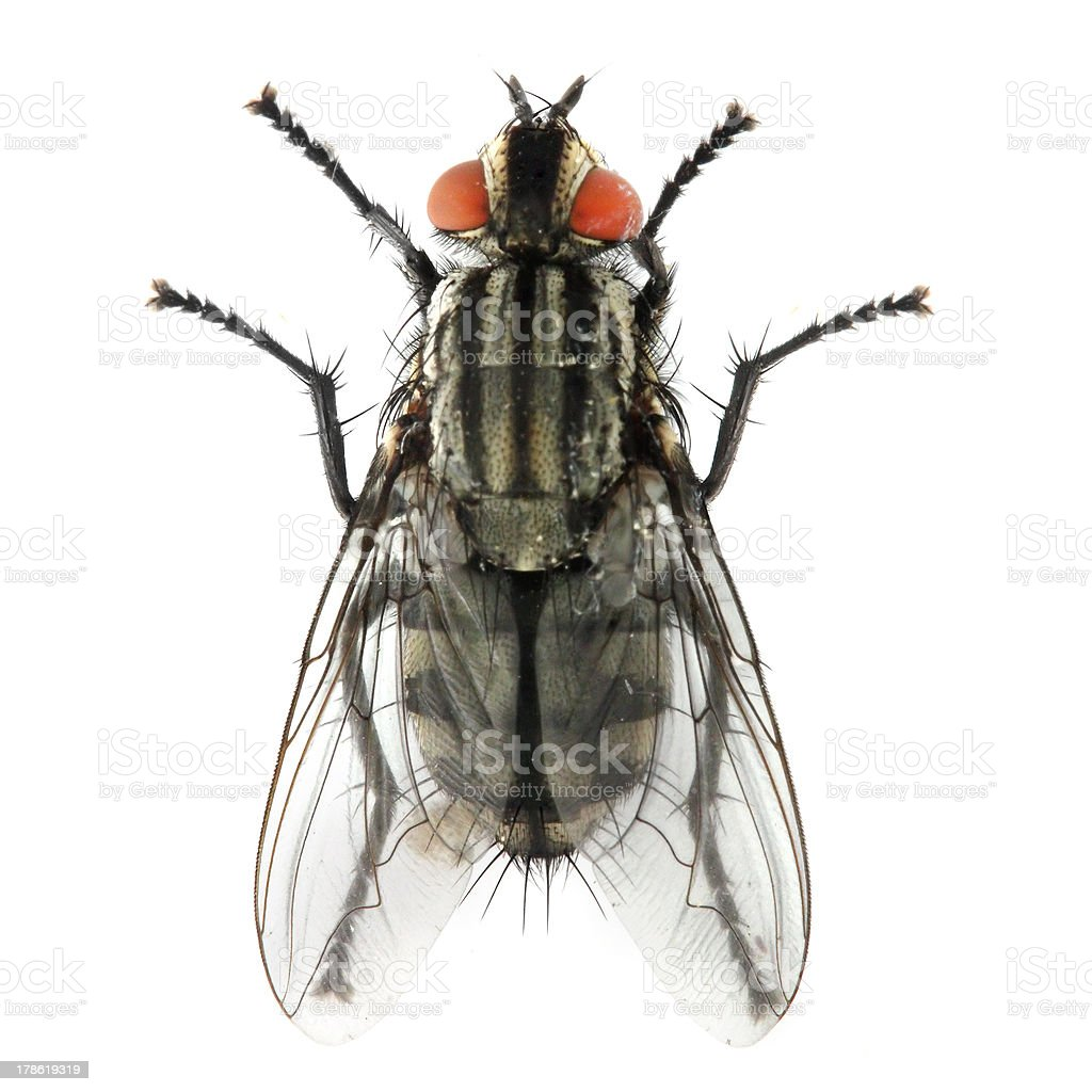 The House Fly (Musca domestica). stock photo