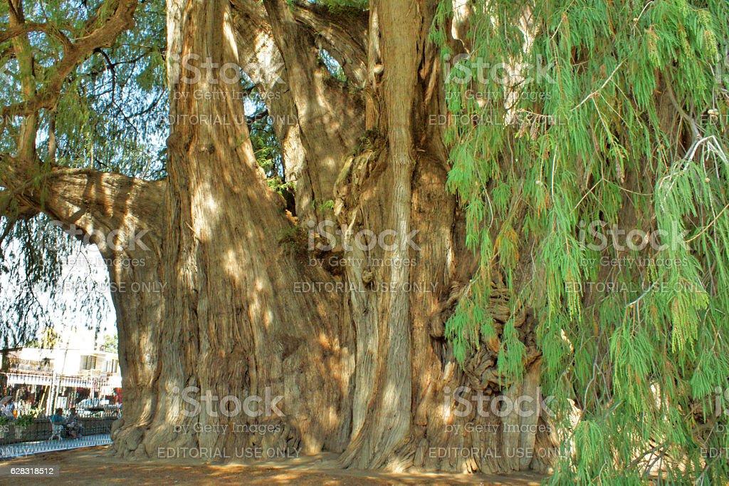 The huge tree of Tule stock photo