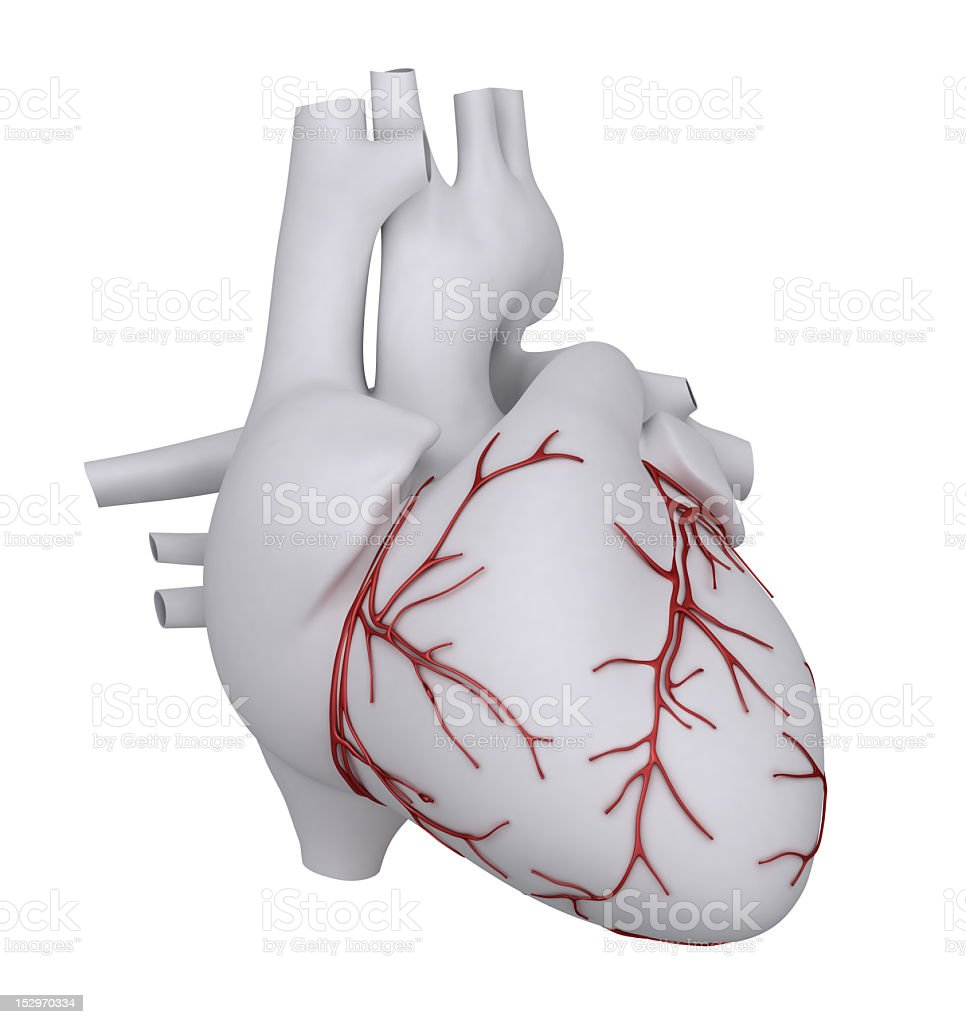 The human heart showing the major arteries stock photo