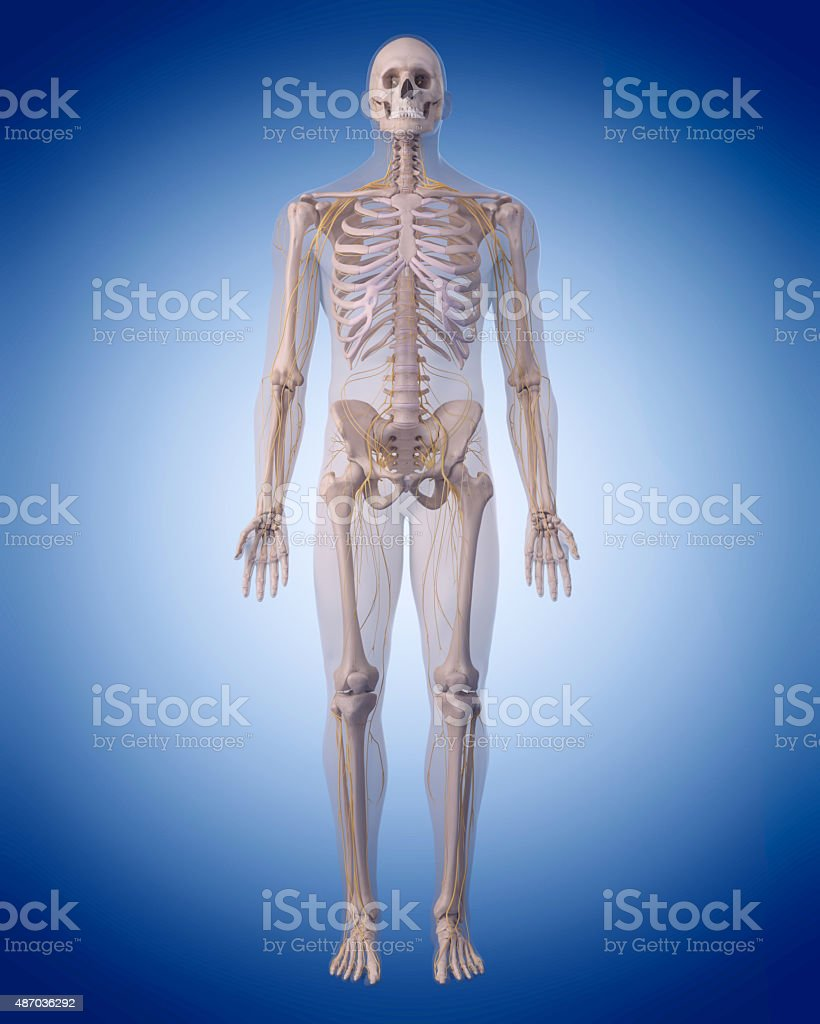 the human nervous system stock photo
